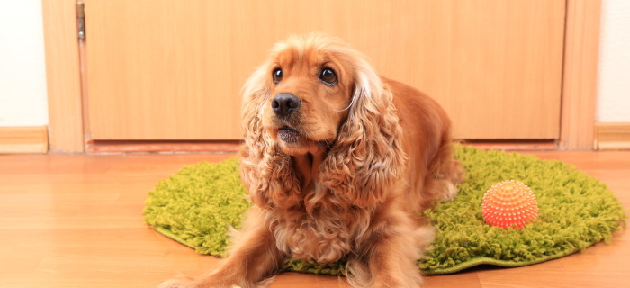 English cocker spaniel on rug near door